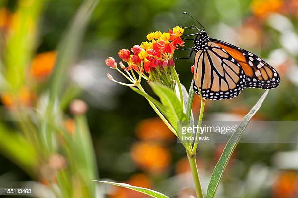 Monarch butterfly on a milkweed plant.