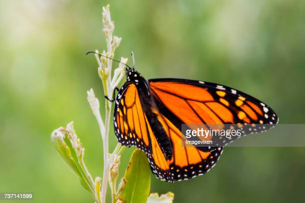 Monarch Butterfly on a plant