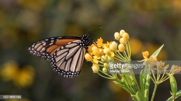 monarch butterfly on a yellow flower - milkweed stock pictures, royalty-free photos & images