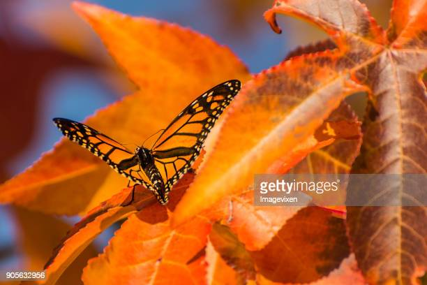 Monarch butterfly on an autumn leaf