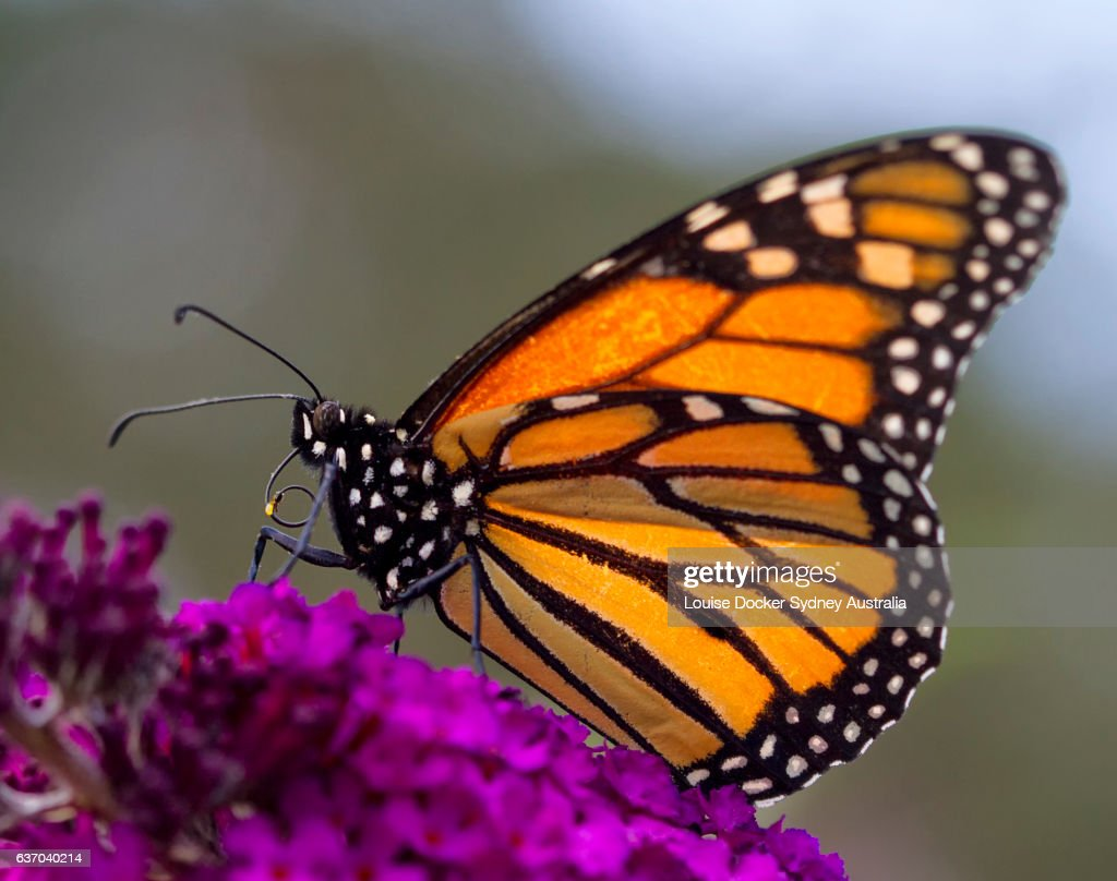 Monarch Butterfly on Buddleia Flower : Stock Photo