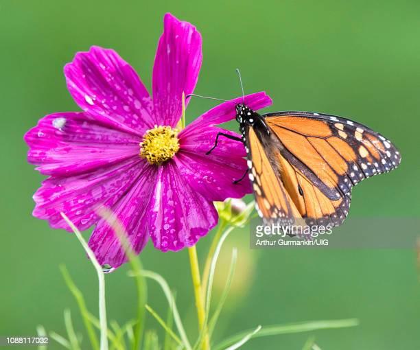monarch butterfly on cosmos flower - arthur foto e immagini stock