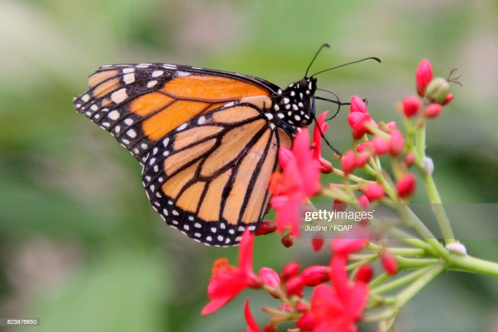 Monarch Butterfly On Fresh Red Flowers High-Res Stock