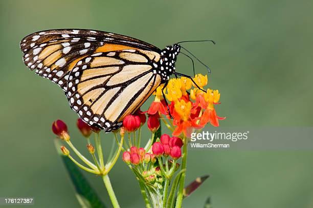 Mariposa monarca en Lantana flores