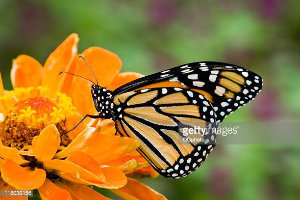 monarch butterfly on orange flower - ogphoto stock pictures, royalty-free photos & images