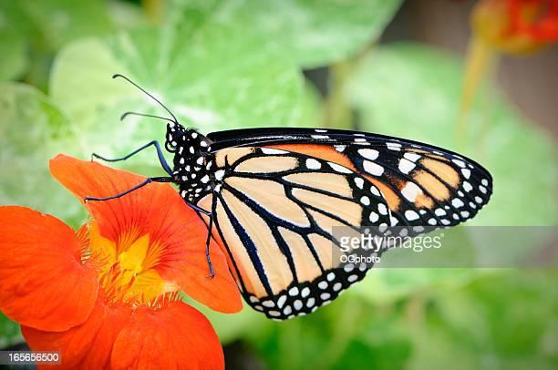 flor mariposa monarca en orange - ogphoto fotografías e imágenes de stock