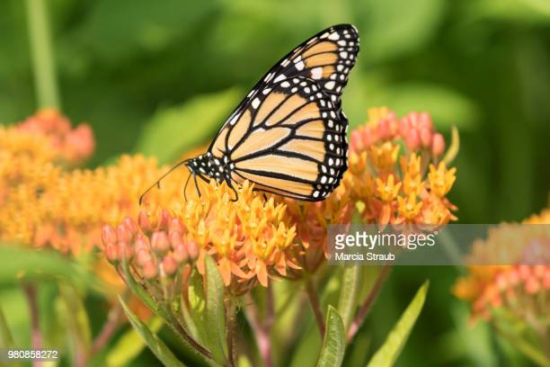 monarch butterfly on orange  flowers - milkweed stock pictures, royalty-free photos & images