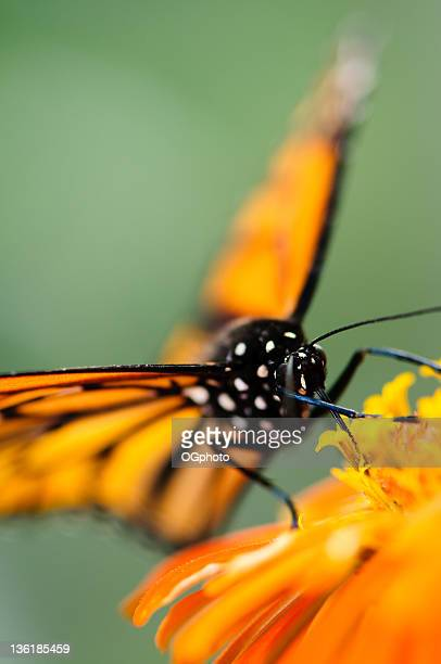 monarch butterfly on orange zinnia. - ogphoto stock pictures, royalty-free photos & images