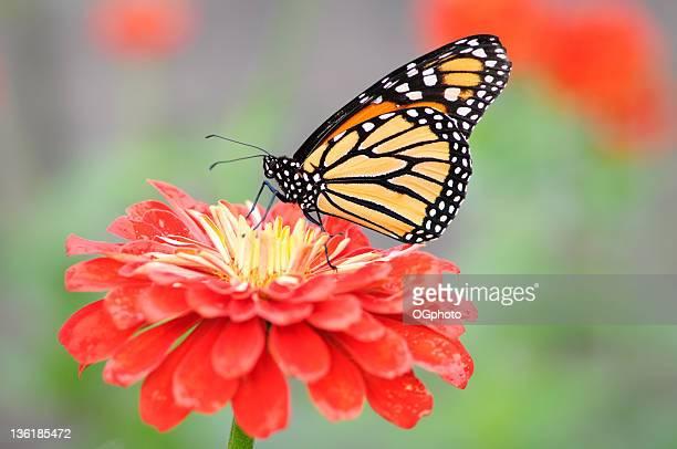 monarch butterfly on orange zinnia. - ogphoto bildbanksfoton och bilder