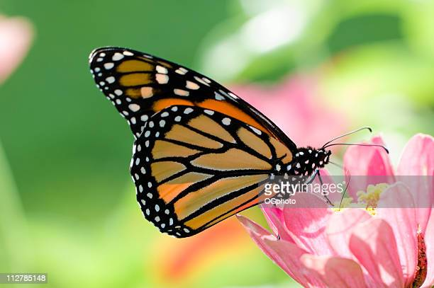 monarch butterfly on pink flower, danaus plexippus - ogphoto stock photos and pictures