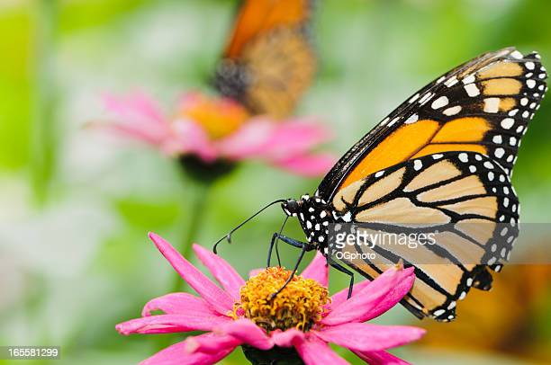 monarch butterfly on pink zinnia. - ogphoto stock pictures, royalty-free photos & images