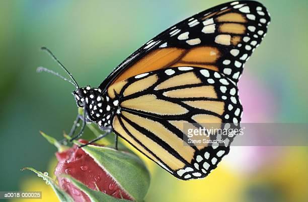 monarch butterfly (danaus plexippus) on rosebud, close-up - mariposa monarca fotografías e imágenes de stock
