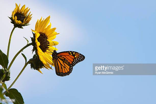 monarch butterfly on sunflower - mariposa monarca fotografías e imágenes de stock