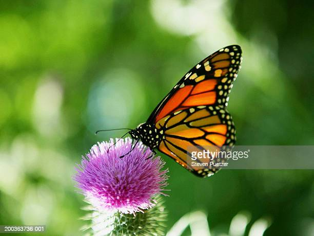 Monarch butterfly (Danaus plexippus) on thistle flower