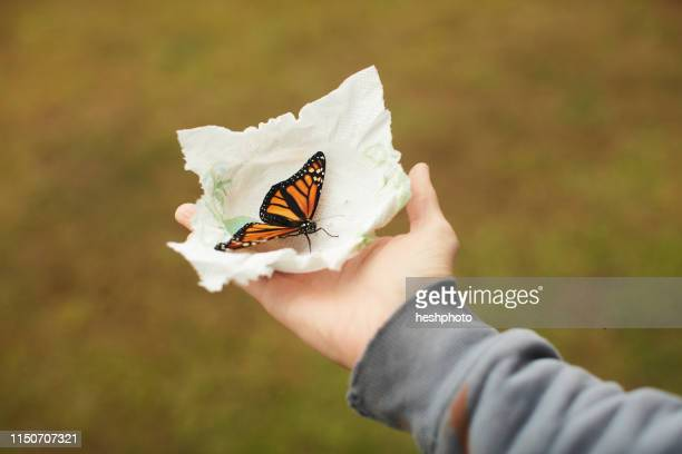 monarch butterfly on tissue in palm - heshphoto - fotografias e filmes do acervo