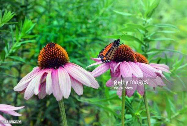 monarch butterfly on top of a cone flower - bo zaunders stock pictures, royalty-free photos & images