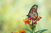 Monarch butterfly on tropical milkweed flowers