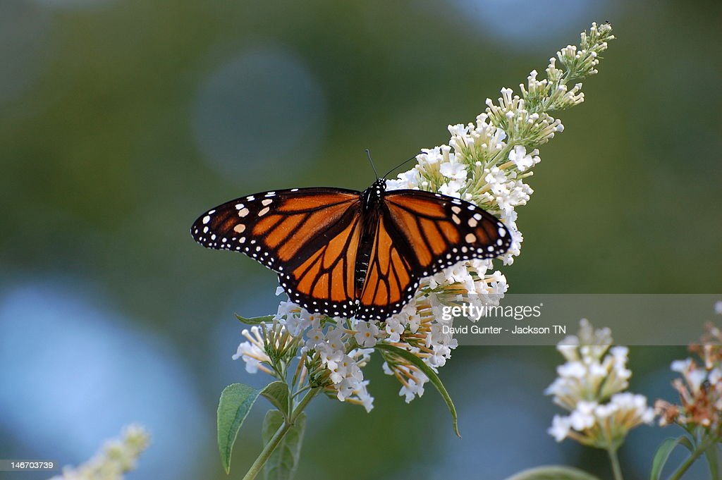 Monarch Butterfly On White Flowers Stock Photo