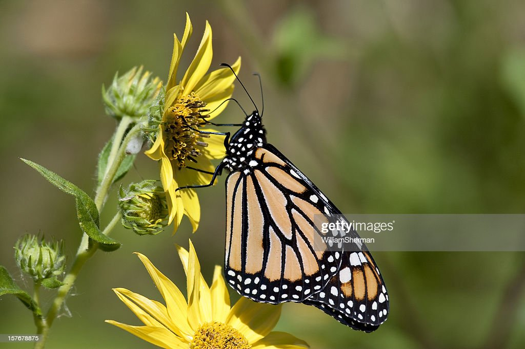 Monarch Butterfly On Yellow Flowers High-Res Stock Photo