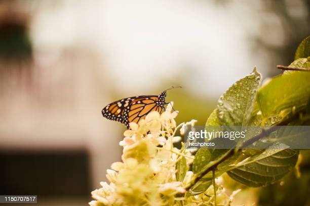 monarch butterfly perched on flower - heshphoto stock pictures, royalty-free photos & images
