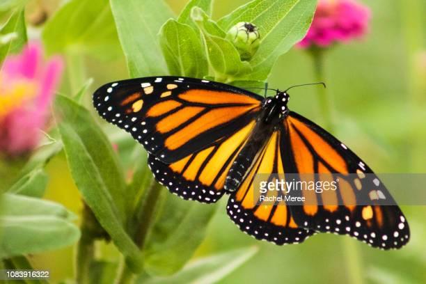monarch butterfly - mariposa monarca fotografías e imágenes de stock