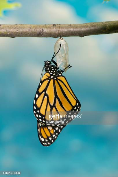 monarch butterfly - don farrall stock pictures, royalty-free photos & images