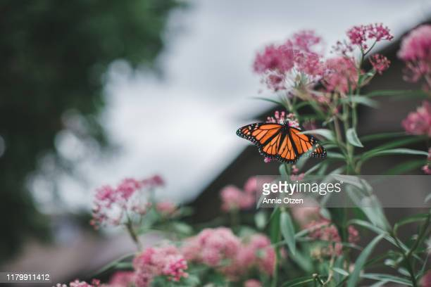 monarch butterfly - milkweed stock pictures, royalty-free photos & images