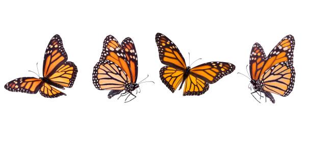 Monarch Butterfly 182454487