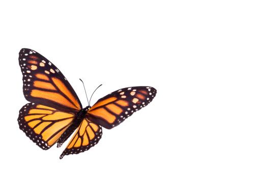 Monarch Butterfly 182457909