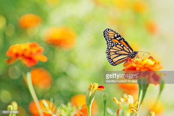 monarch butterfly - schmetterling stock-fotos und bilder