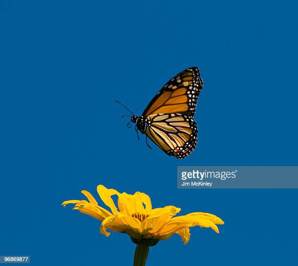 monarch butterfly - monarch butterfly stock pictures, royalty-free photos & images
