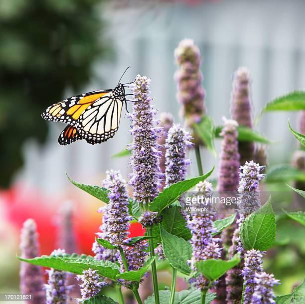 Monarch (Tiger plexippus) Pollinating Lavendel Anis Ysopkraut