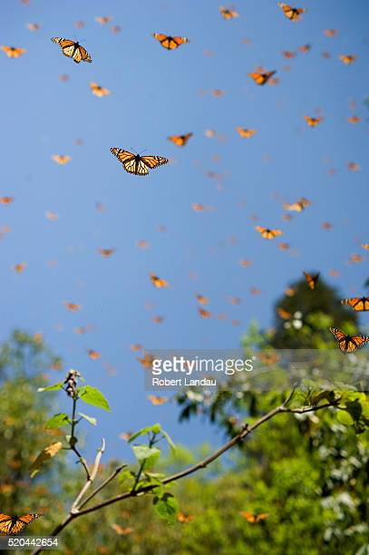 monarch butterfly preserve - lepidoptera stock pictures, royalty-free photos & images
