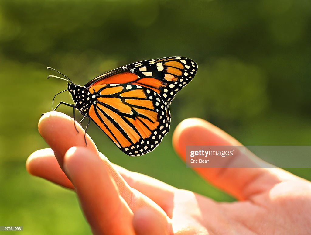 Monarch Butterfly resting on palm of young girl : ストックフォト