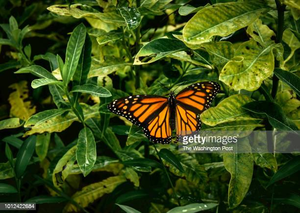 """Monarch butterfly rests on a milkweed leaf in the """"meadow"""" that has had Mike Pugh battling his homeowners association for four years over whether he..."""