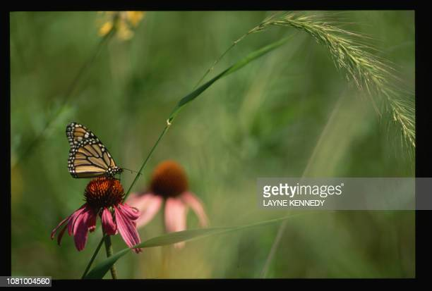 A monarch butterfly rests on a purple coneflower at the Aldo Leopold Memorial Reserve
