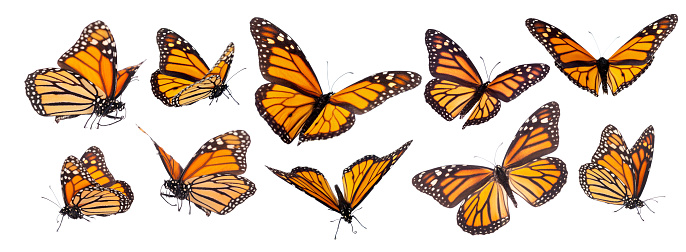 Monarch Butterfly Set Isolated 1128025824