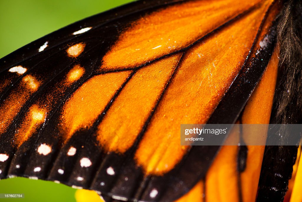 Monarch Butterfly wing : Stock Photo