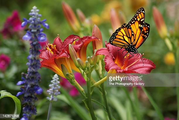 monarch butterfly with daylily - sarasota stock pictures, royalty-free photos & images