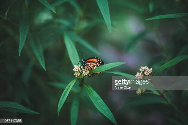 monarch butterfly with injured wings - milkweed stock pictures, royalty-free photos & images