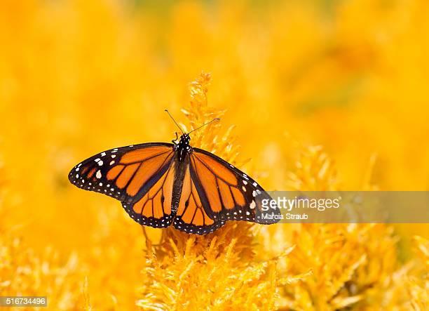 monarch butterfly with wings spread - mariposa monarca fotografías e imágenes de stock