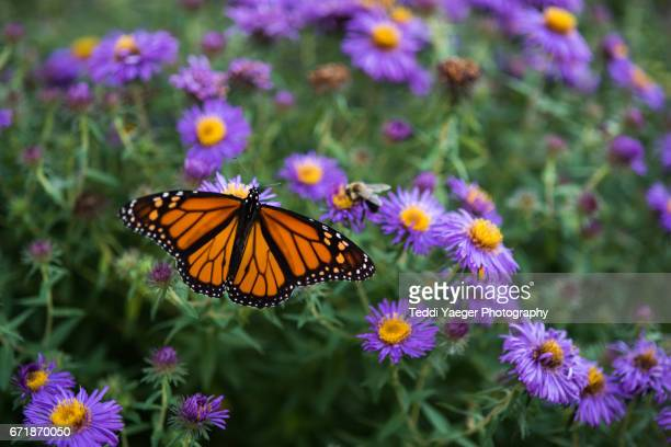 A Monarch Butterly on Purple Aster Flowers