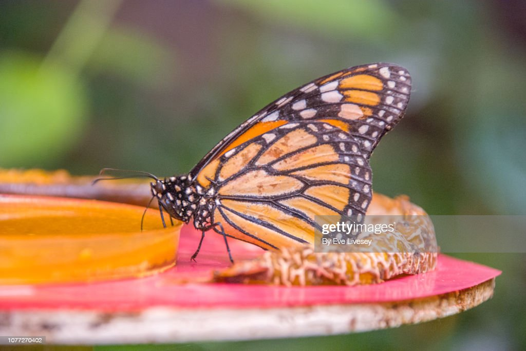 Monarch Butterly : Stock Photo