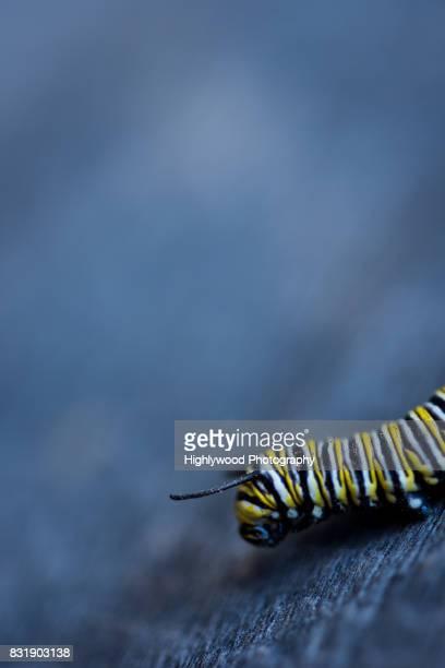 monarch caterpillar close-up - highlywood fotografías e imágenes de stock