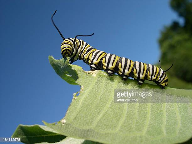 A monarch caterpillar eating a large leaf