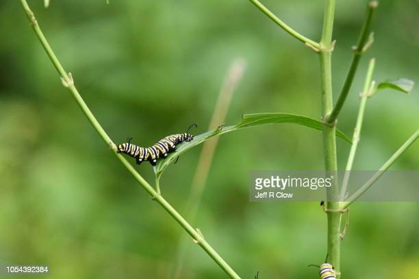 monarch caterpillar eating on a milkweed stalk - frenesí depredador fotografías e imágenes de stock