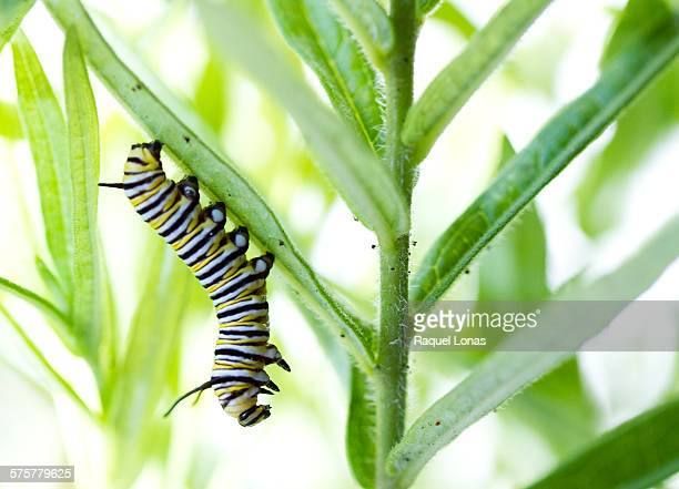 Monarch caterpillar hanging from milkweed leaf