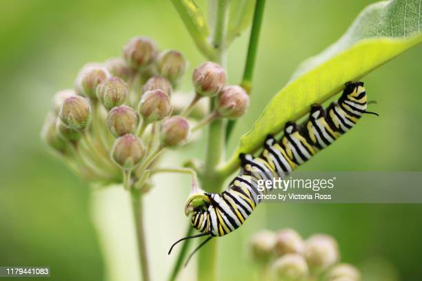 monarch caterpillar on milkweed blossom - milkweed stock pictures, royalty-free photos & images