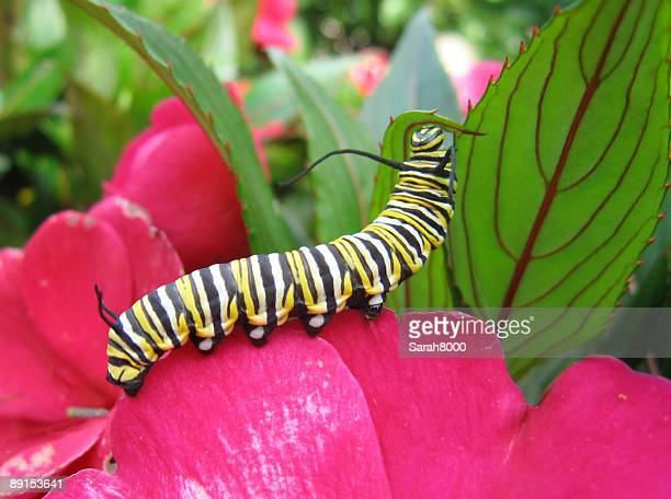 Monarch caterpillar resting on pink flower and green leaf