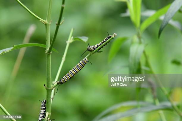 monarch caterpillars feeding on a milkweed stalk - frenesí depredador fotografías e imágenes de stock